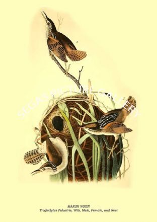 MARSH WREN - Troglodytes Palustris, Wils, Male, Female, and Nest